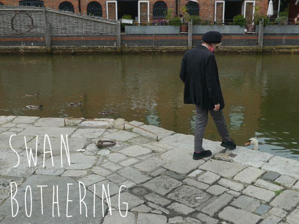 Swan-bothering