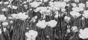 blackandwhite flowers